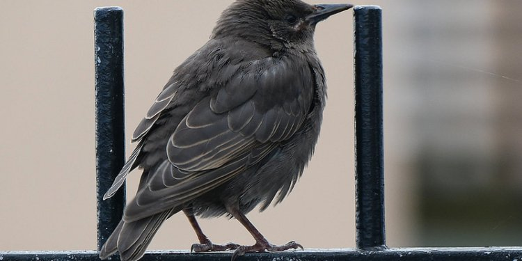 Juvenile Starling at the Bamburgh Castle Hotel, Seahouses