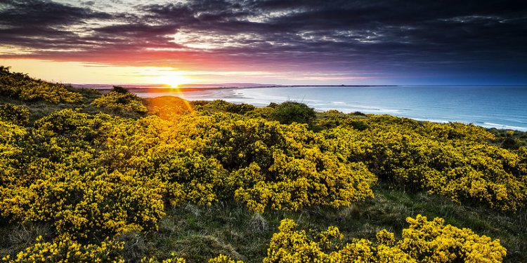 The Gorse on The Course